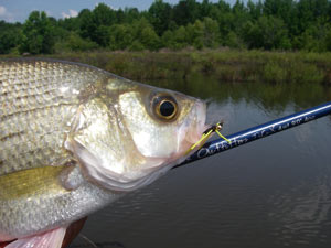 A white bass from a West Point carp flat...