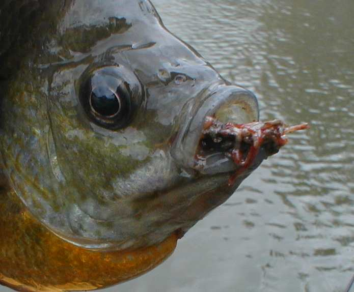 I Don T Find Em With Trout But Definitely Eating Chironomids